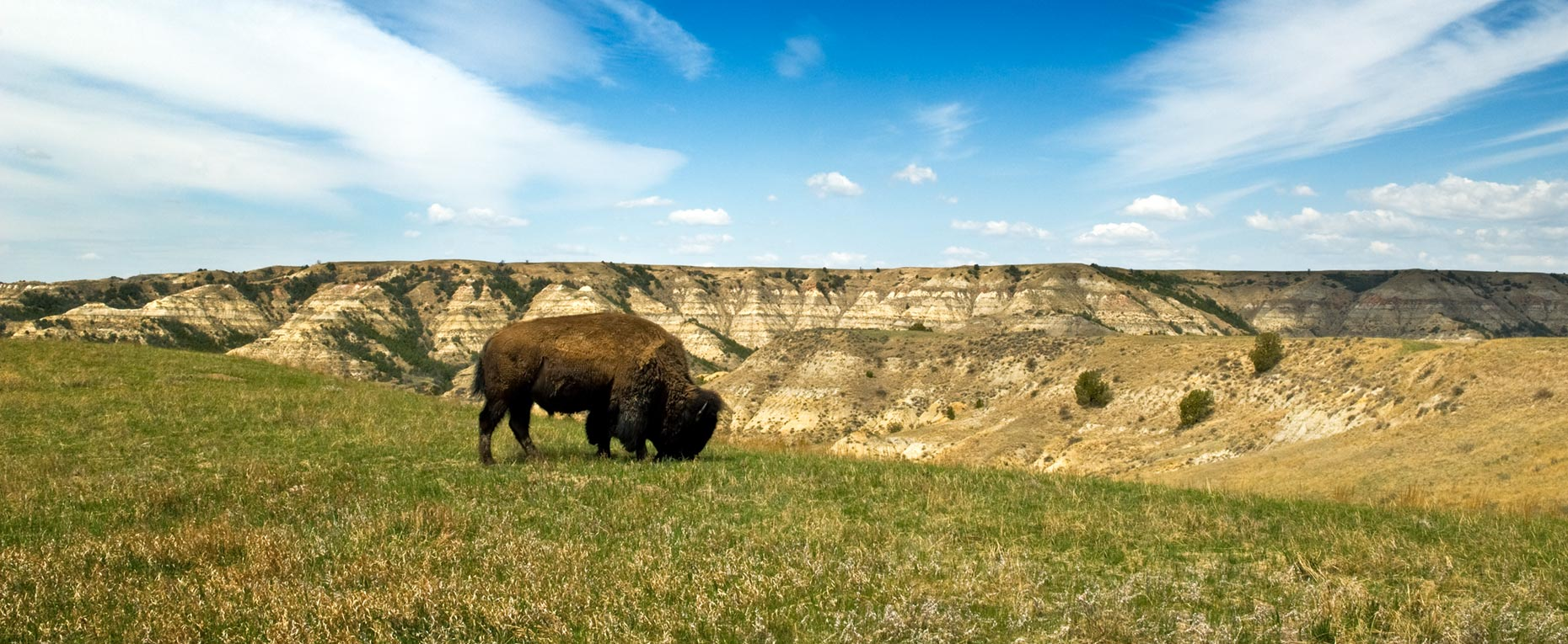 A photo of bison grazing in Theodore Roosevelt National Park, taken by North Dakota photographer Dan Koeck.